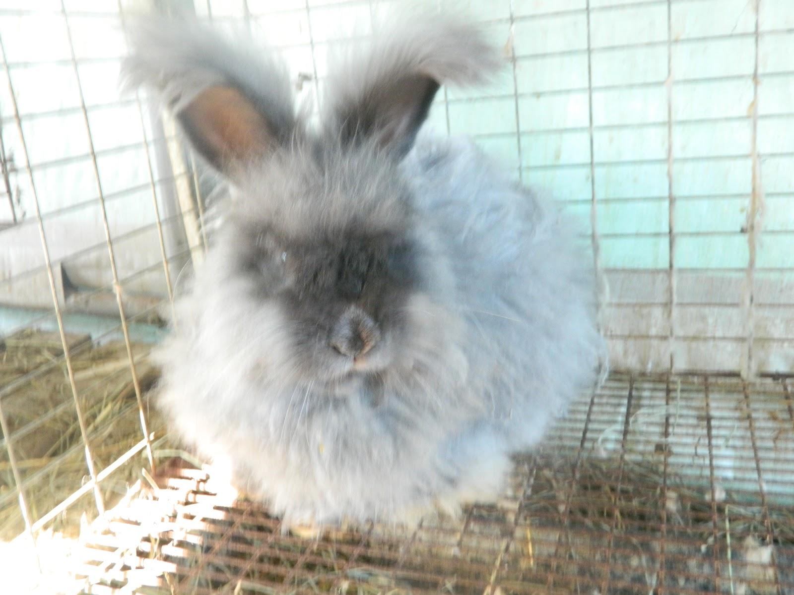 english angora rabbits - photo #11