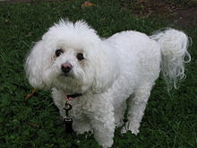 Old Bichon Frise dog