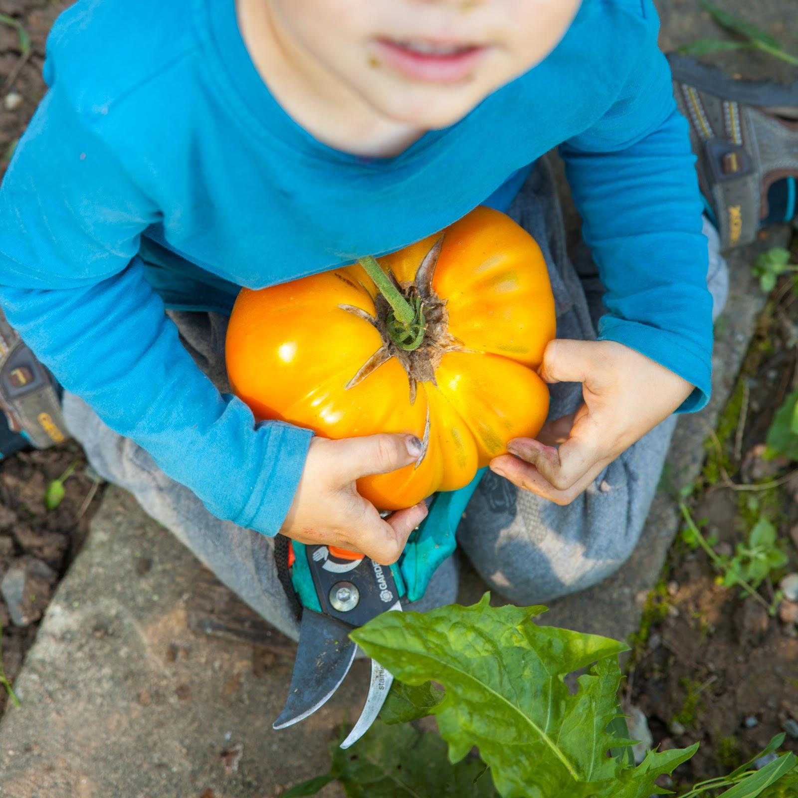 Trollenland Die Größte Tomate Der Welt