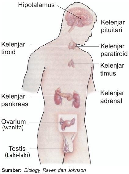 Sistem Hormon - Pengertian, Fungsi, Peran, Dan Cara Kerja