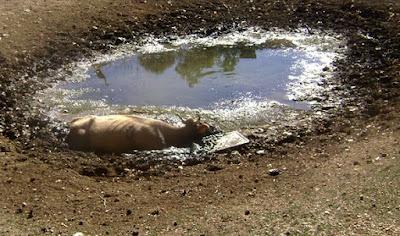 Θεσπρωτία: Aγελάδα βούλιαξε μέσα σε λούτσα, αναζητώντας νερό, και απεγκλωβίστηκε με μπουλντόζα
