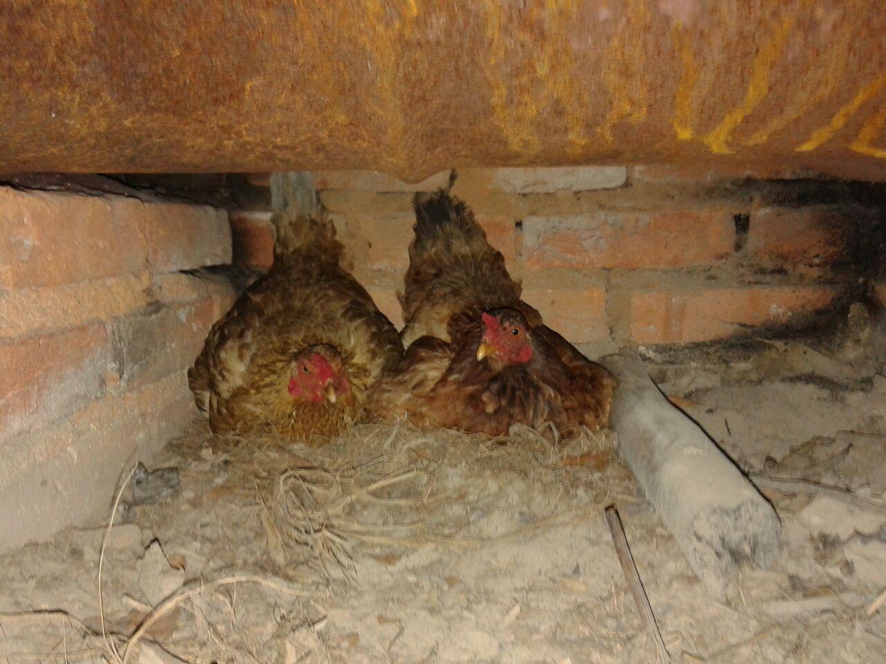 machaca com galinhas compartilham ninho até na hora da maternidade