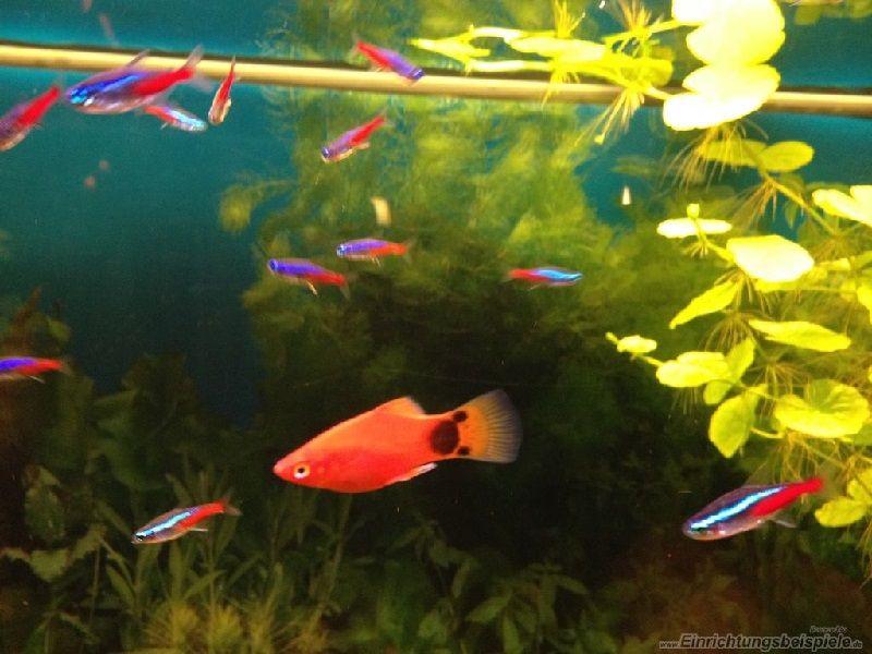 Gambar Mencampur Ikan Mickey Mouse Dengan Ikan Tetra
