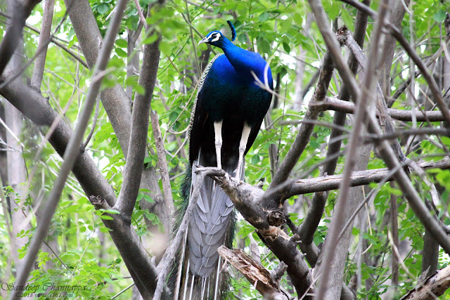 Indian Peafowl Male perched on the tree, Tetal Hill