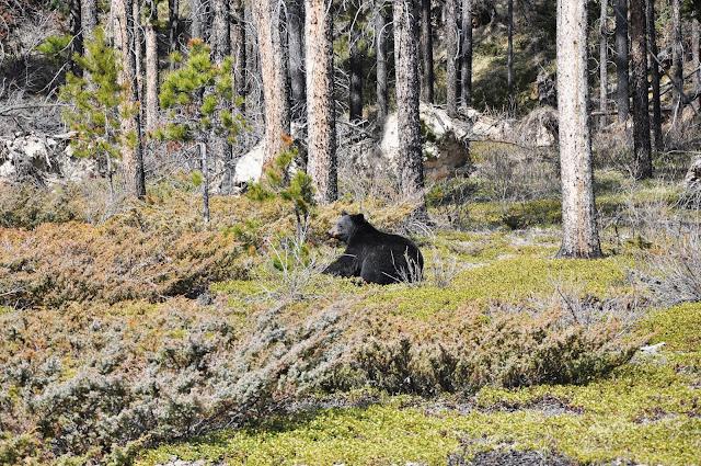 Black Bear at Jasper National Park, Alberta, Canada