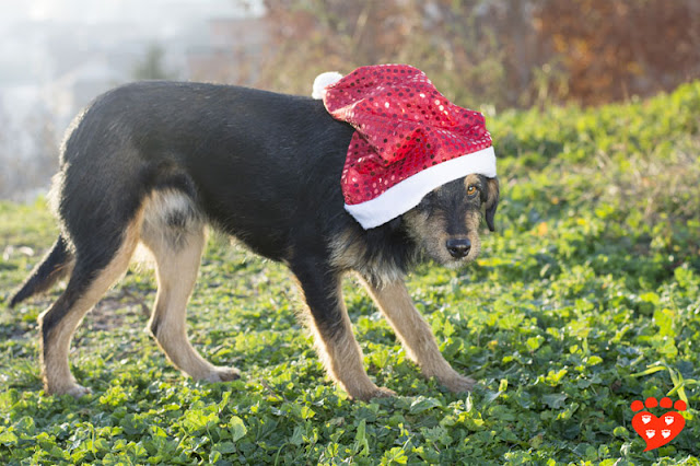 Body language quiz: How can I tell if my dog is afraid? Look at this mixed breed dog in a Santa hat