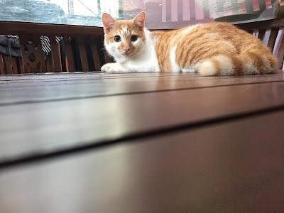 pets, binatang peliharaan, kucing kesayangan