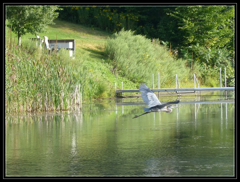 Great Blue Heron on Fish Creek