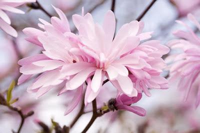 Nomes de flor para meninas - Magnólia (Foto: Gardenia.net)
