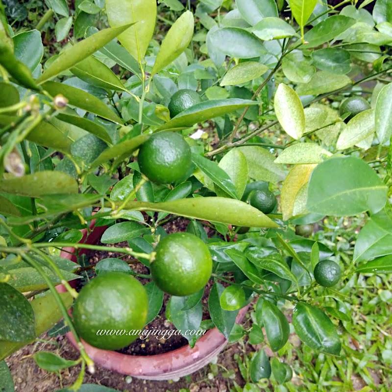 Pokok Limau Kasturi Lebat Berbuah