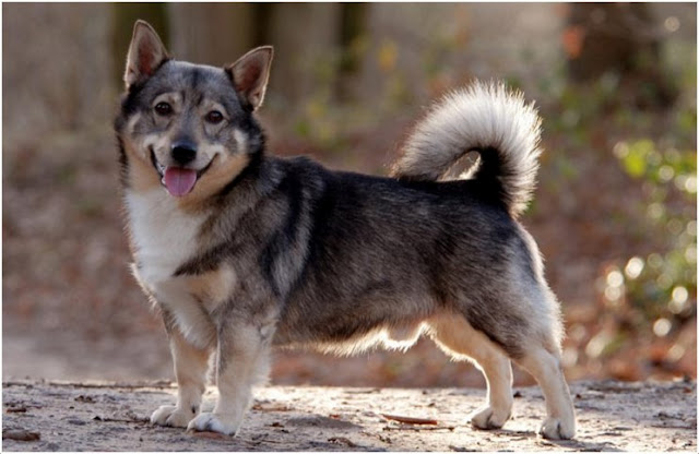 Which dog looks like a wolf