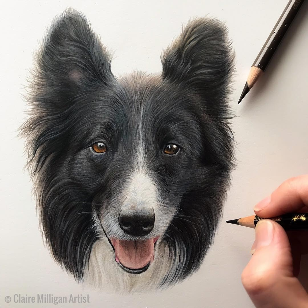09-Border-Collie-Claire-Milligan-Cats-birds-and-Dogs-Realistic-Animal-Drawings-www-designstack-co