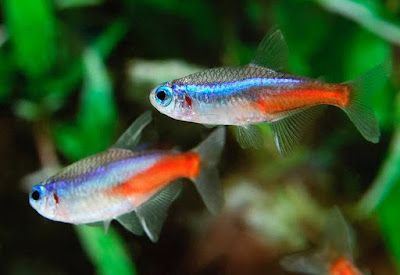 Neon Tetra - Animals That Start With N