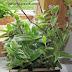 🤷INDOOR🤷Cyanotis Somaliensis Commelinaceae (pussy ears) Indoor Plant