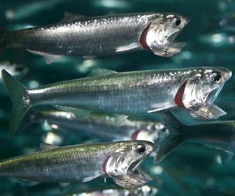 Ikan Teri (anchovy) Ikan Kecil Khas Ikan Asin
