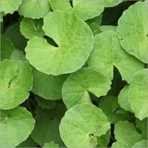 Indian Medicinal Plants: Gotu Kola (Brahmi)