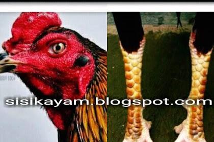 Ciri Kehebatan Sisik Kaki Gambir Ayam Aduan