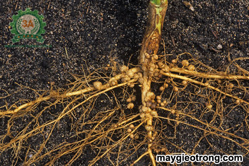 Sâu bệnh hại cà phê và biện pháp khắc phục: Bệnh lở cổ rễ