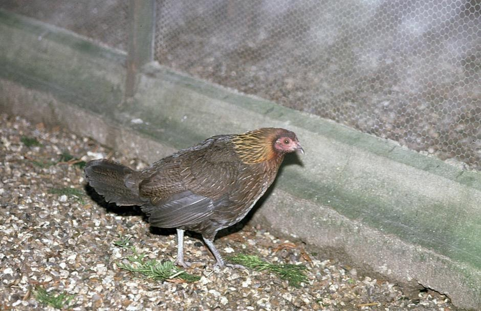 Gallo bankiva: Gallus gallus