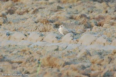 Perdiu de mar (Glareola pratincola)