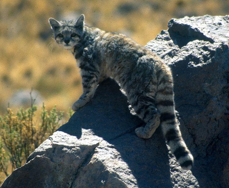 15 Kucing Liar Paling Langka Emosianisme