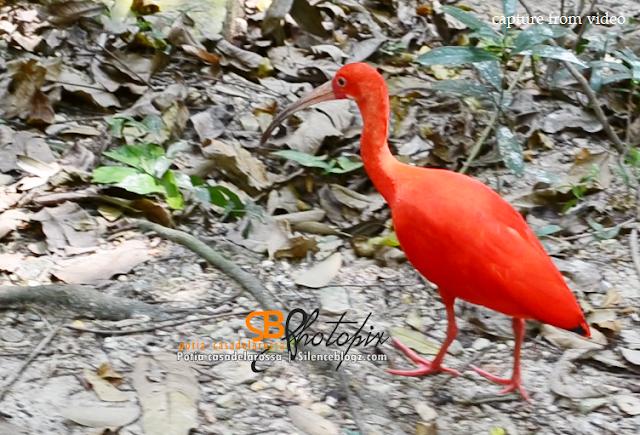 Burung Red Scarlet Ibis
