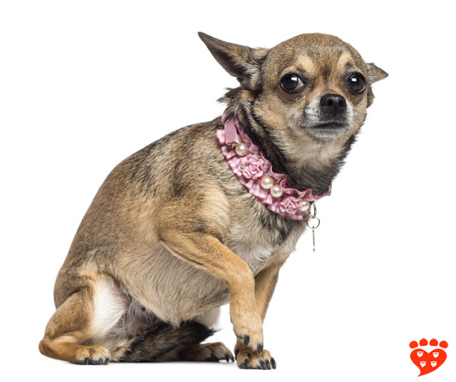 How can I tell if my dog is afraid? Many dogs don't like to wear costumes. See how this Chihuahua's ears are back and he is lifting a paw.