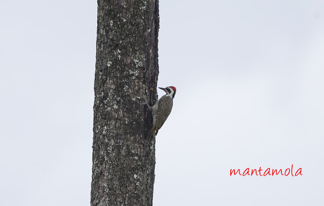 Bearded woodpecker (Chloropicus namaquus)