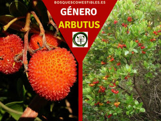 El género Arbutus arbustos perennifolios, con flores hermafroditas y su fruto una baya redondeada