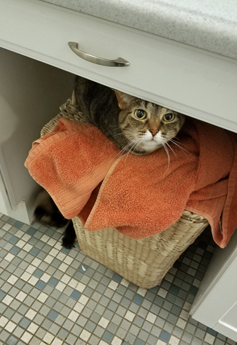 image of Sophie the Torbie Cat hiding on top of a hamper in the bathroom; on the floor beside her, Matilda the Fluffy Sealpoint Cat plays with a piece of errant tissue