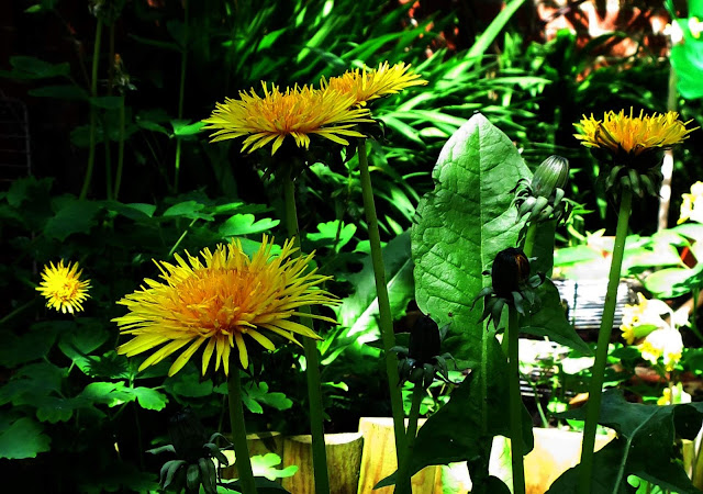 Self-seeded dandelions in a small garden.
