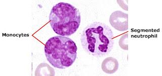 Le monocyte