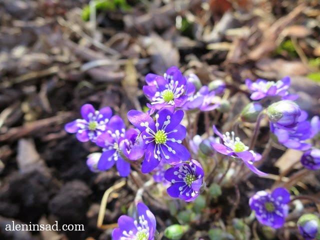 Hepatica nobilis, печеночница, благородная, перелеска, сиреневые цветы, весенние цветы, анемоны, трехлопастные листья, цветы печеночницы, аленин сад