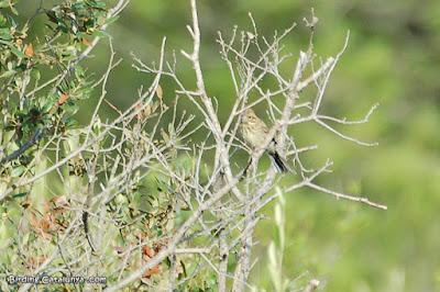 Femella de gratapalles (Emberiza cirlus)