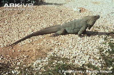 threatened island iguana