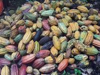 Unit Fermentasi dan Pemasaran Biji Kakao (UFP-BK)