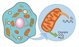 Resultado de imagen para mitocondria caracteristicas