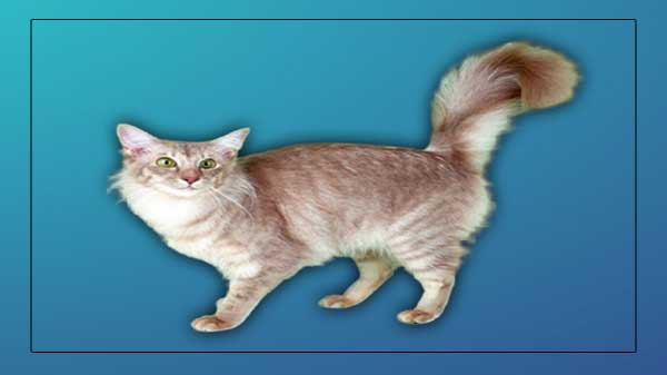 Javanese Cat Breed Information