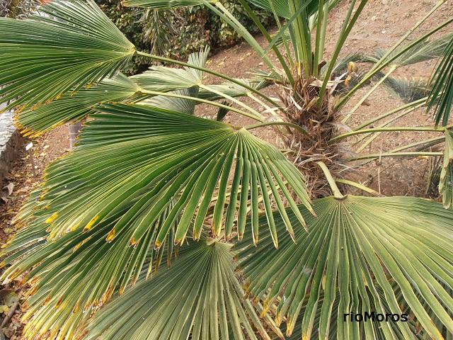 Hojas de PALMERA DE FORTUNE Trachycarpus fortunei