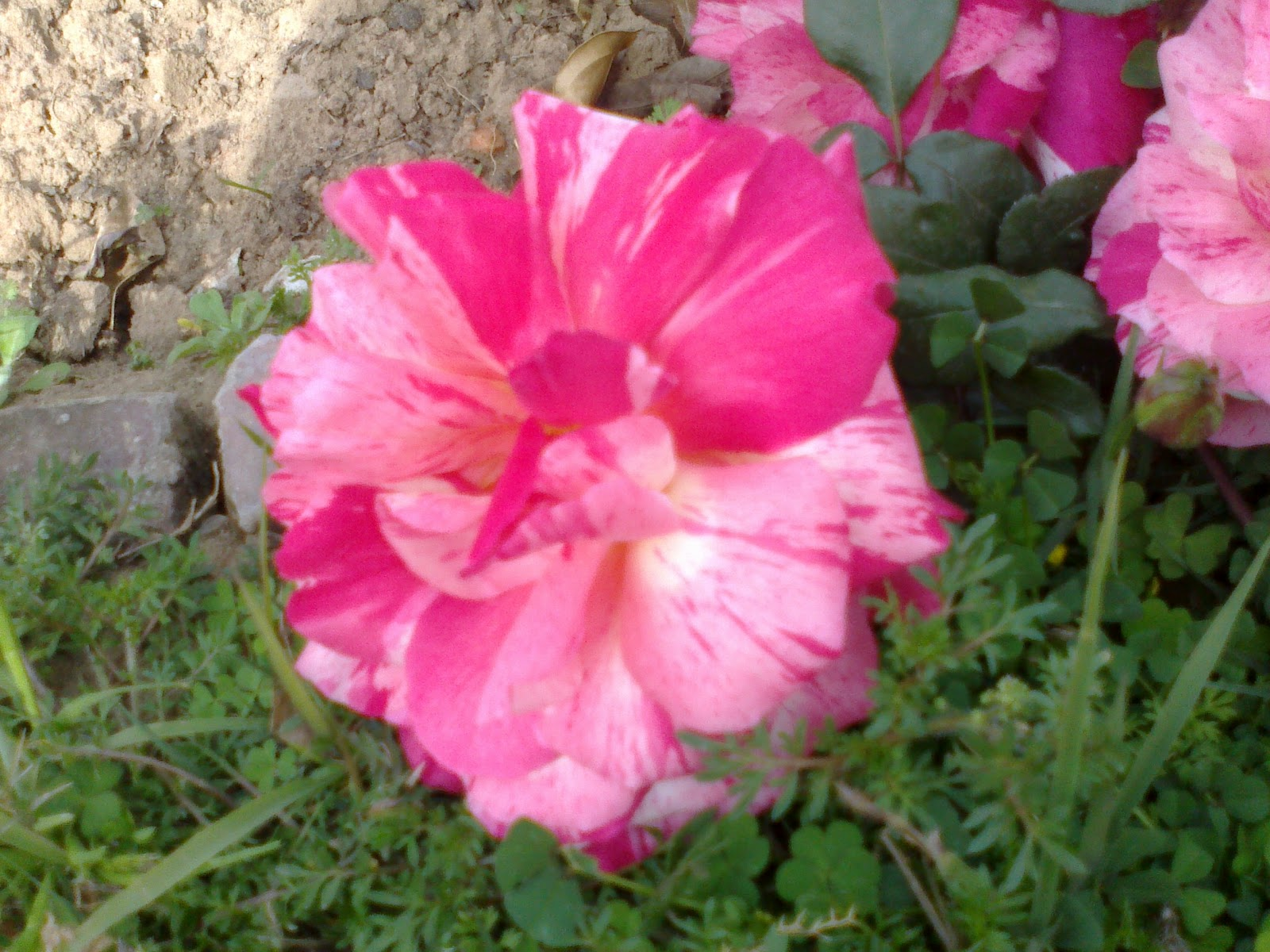 Love Garden Roses: I Love Roses: Trip To Rose Garden Chandigarh