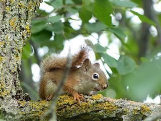 Ecureuil roux d'Amérique - Ecureuil de l'Hudson - Tamiasciurus hudsonicus