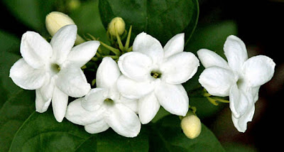 11 Manfaat Bunga Melati untuk Kesehatan