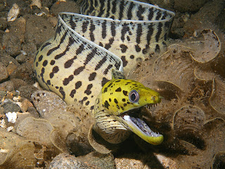 The moray eel (family Muraenidae)