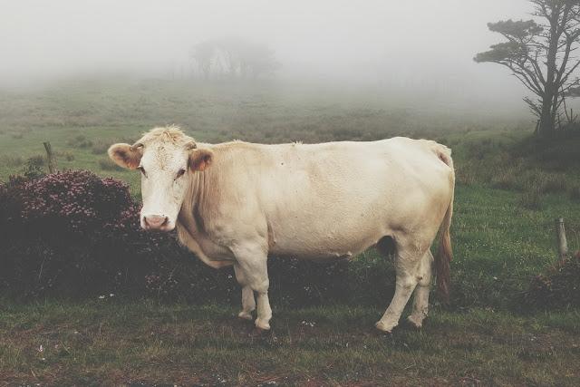 Partes de la vaca en inglés, español y portugués