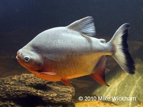 Plantas y acuarios amazonas el pez pacu o cachama for Pez cachama