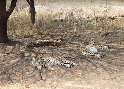 ghepardi maschi al Cheetah conservation fund