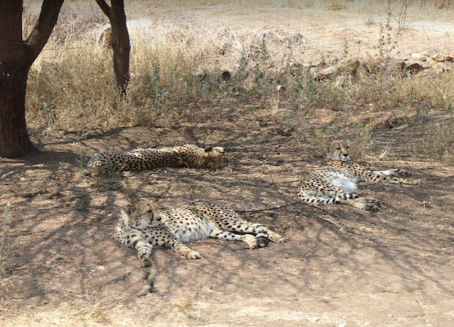 ghepardi maschi al Cheetah conservation fund