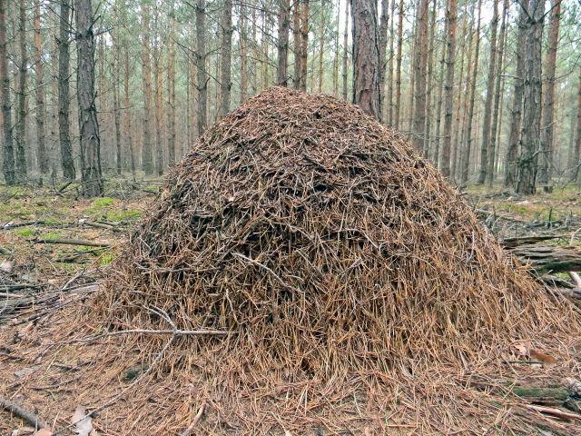 lasy lubuskie, mrowisko