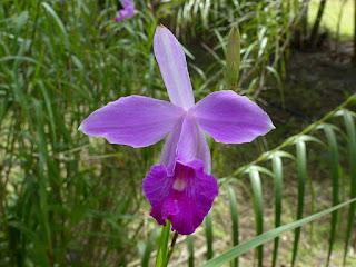 Orchidée Bambou - Arundina graminifolia