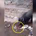 Sekumpulan babi berebut makan mayat bayi